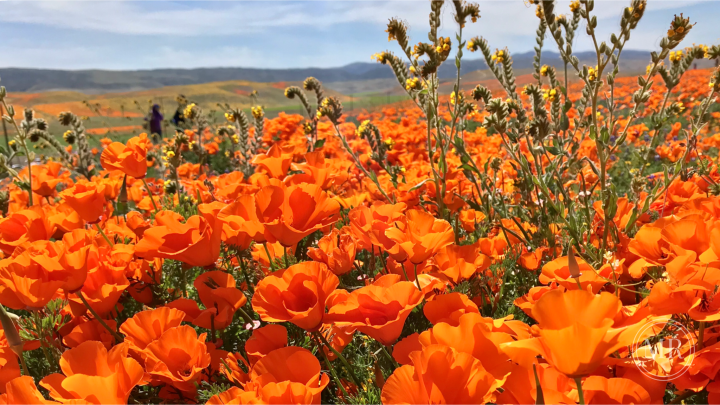 California Poppy Super Bloom